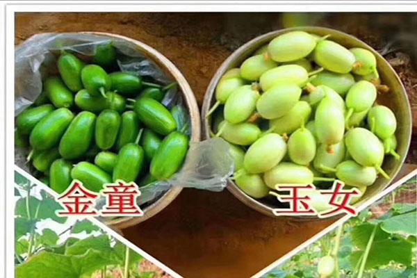 玉笛小黃瓜種子-品種好的免沾化黃瓜種子批發