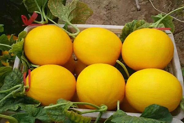 甜瓜種子電話-高產甜瓜種子價格-高產甜瓜種子代理