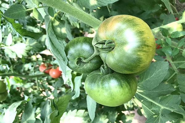 番茄种子-哪里购买番茄种子