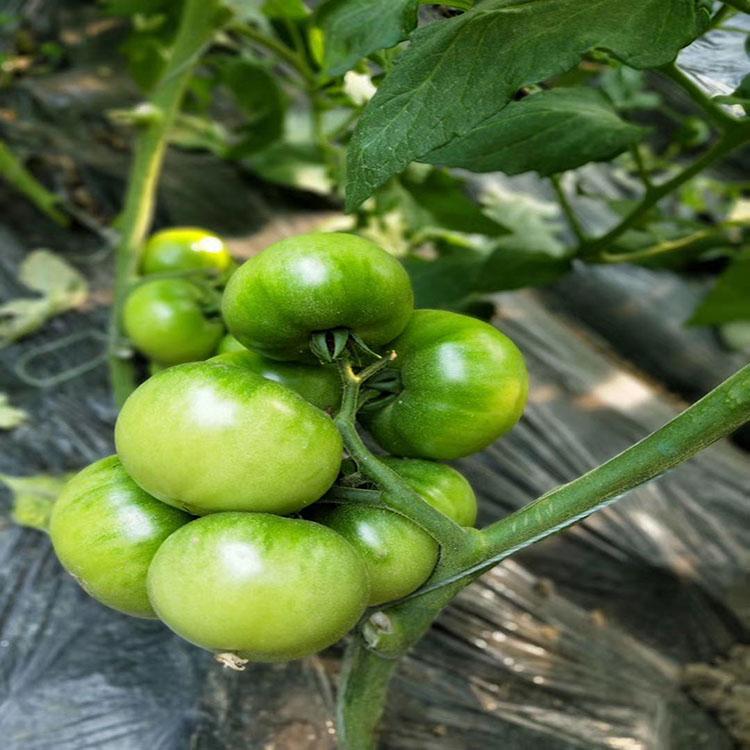 布蘭妮進口口感番茄代理-的西紅柿種苗供應商