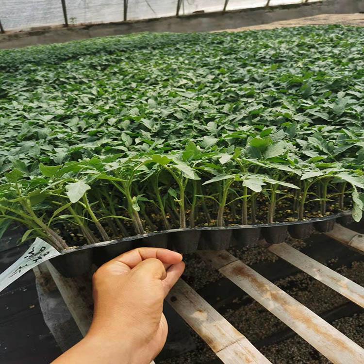 抗葉霉病西紅柿種子報價|買抗病強西紅柿種子就到誠浩農業科技