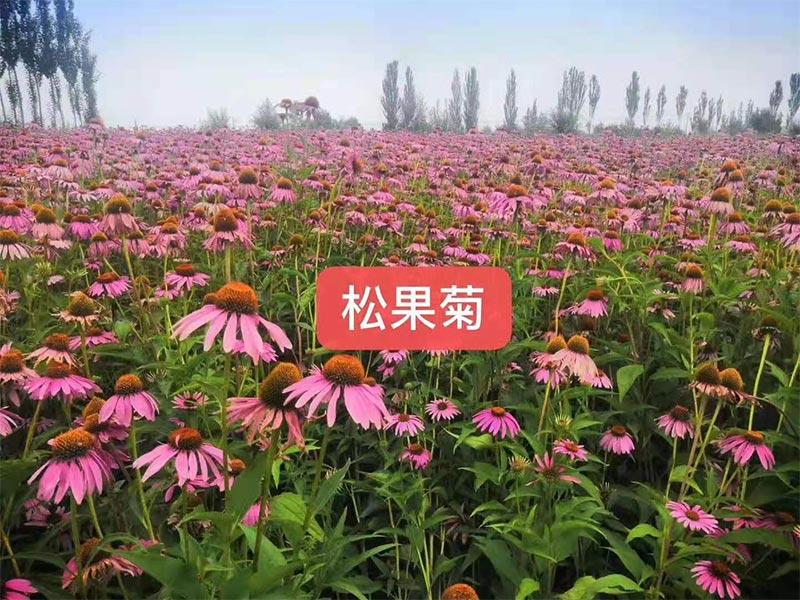 河南草坪绿化厂家-草种花种价格-草种花种厂家