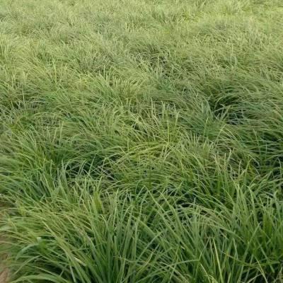 志存高远!青绿苔草种植基地,青绿苔草供应商