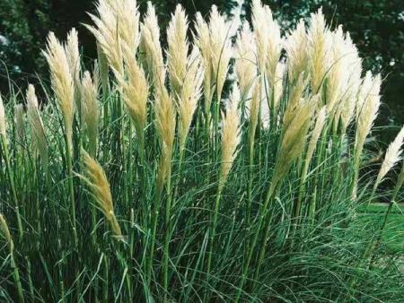 水生植物小苗//水生植物价格