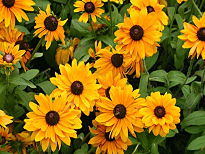 黑心菊种植基地,黑心菊培育基地,黑心菊种植