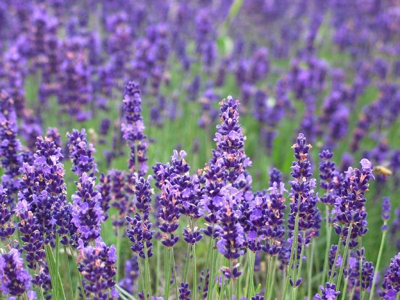 河道绿化薰衣草|瑞生园花卉苗木有品质的薰衣草出售