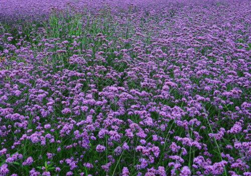 马鞭草培育基地-安徽马鞭草种植基地-江西马鞭草价格