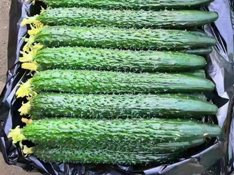 德瑞特1088黄瓜种子供应价格-德瑞特9189黄瓜种苗批发地
