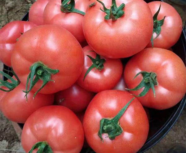 抗TY番茄种子|西红柿种苗买卖价格