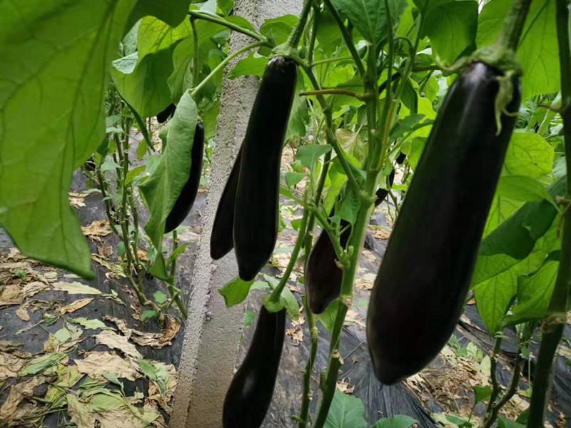 长茄种子供应价格|博金种苗专业批发圆茄种子