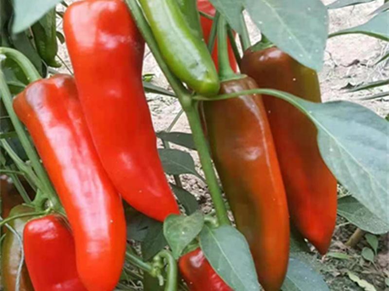 圓椒種子供應-辣椒種子的格是多少