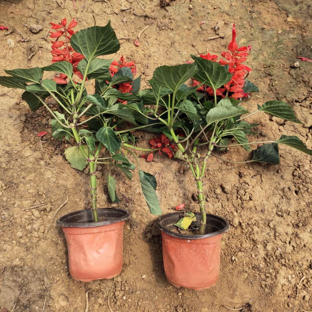 四川一串红种苗出售