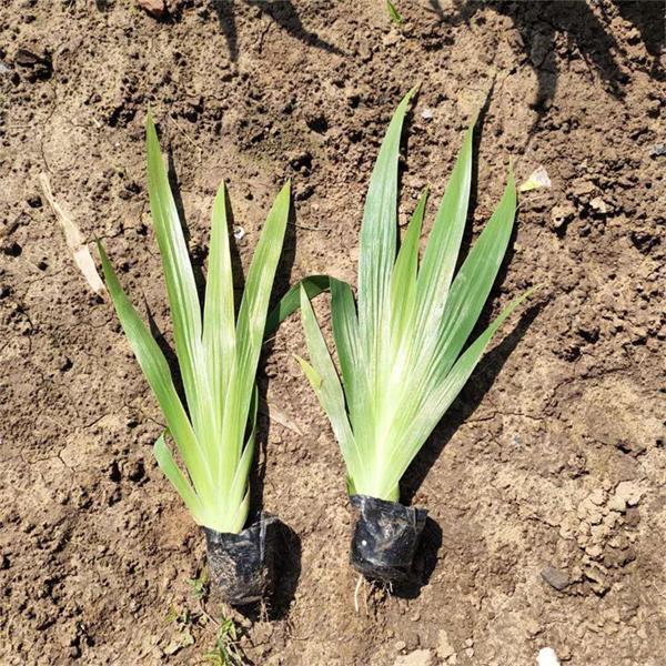 湖北鸢尾种苗供应,单花鸢尾基地