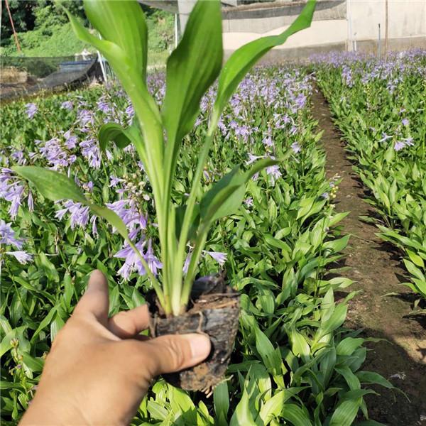 河北青叶紫花玉簪哪里有