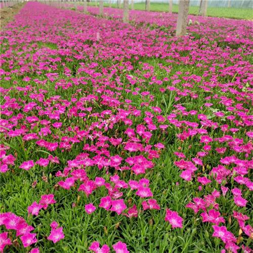 北京欧石竹苗供应
