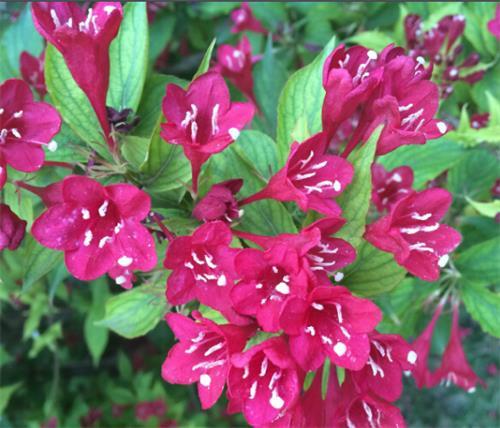 青州红王子锦带种苗基地