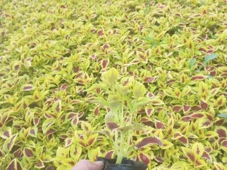 彩葉草容器苗