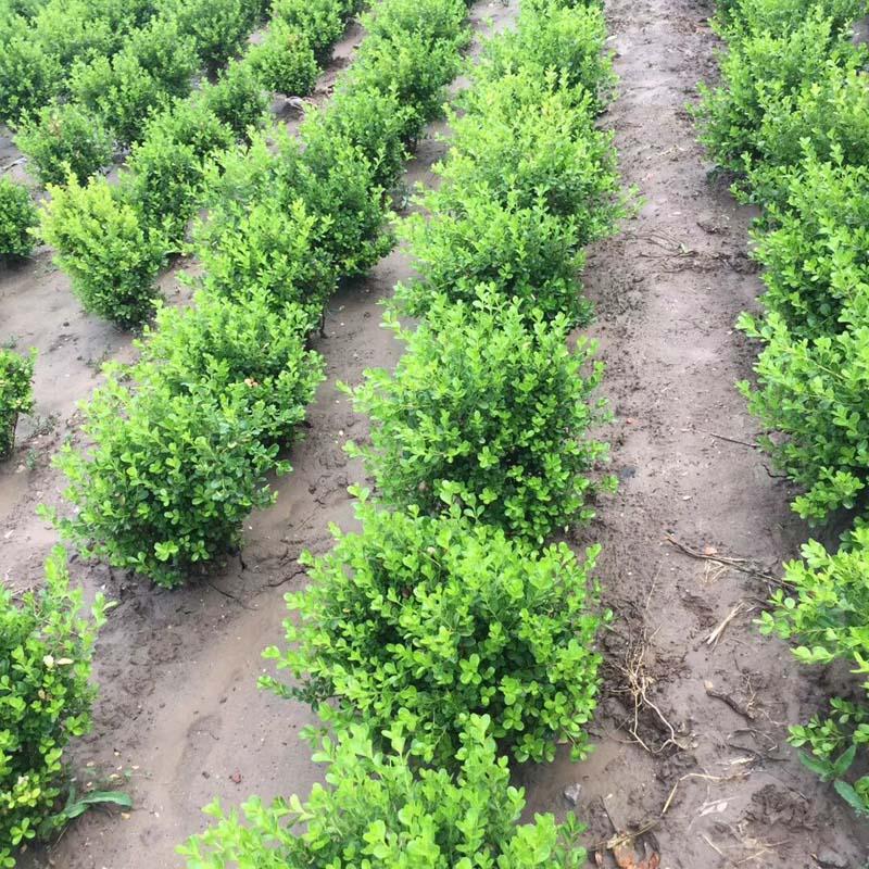 黄杨种植基地//黄杨供应