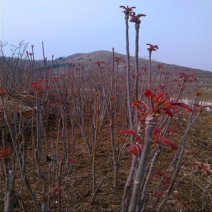 內蒙古紅香椿苗子產地
