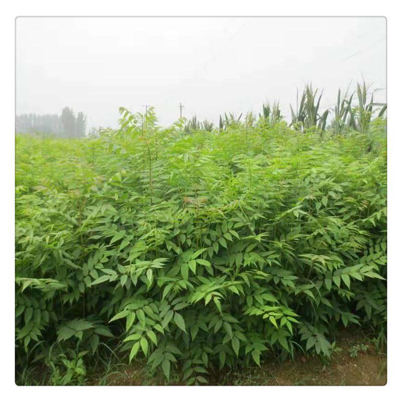 qing州大棚香椿苗多少钱