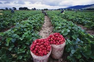 北京草莓原種苗價格