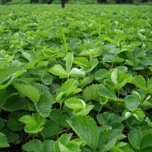 濰坊大棚草莓苗供應商