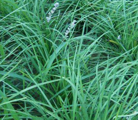 山东绿化用麦冬袋苗-绿化用麦冬市场-绿化用麦冬种植