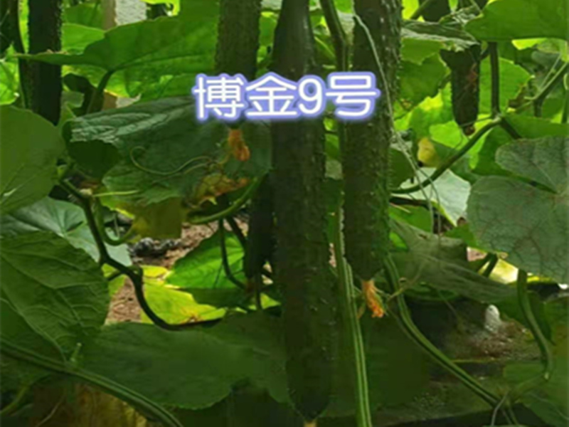 寧夏博金9號黃瓜種子供應價格-怎樣購買博金9號黃瓜種子