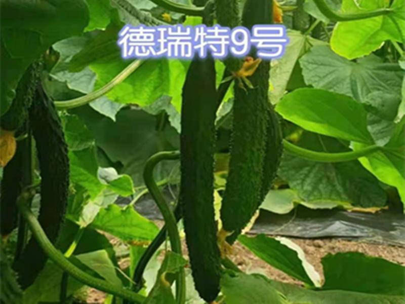 德瑞特9號黃瓜種子批發-壽光博金9號黃瓜種子哪家好