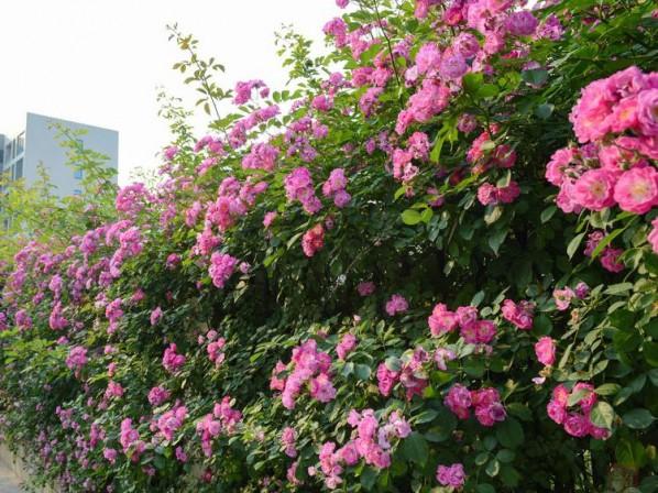 三季蔷薇出售//三季蔷薇批发