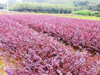 红叶小檗供应,红叶小檗种植基地,红叶小檗基地