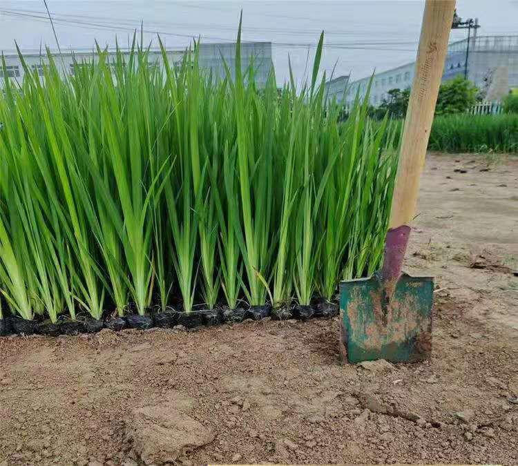 内蒙古黄菖蒲幼苗种植基地