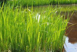 青州菖蒲圖片-想買實惠的菖蒲-就到群祥花卉苗木