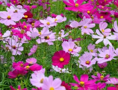 波斯菊的種植分享
