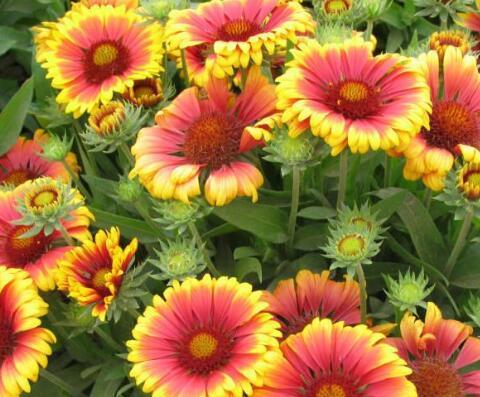 天人菊的種植方法