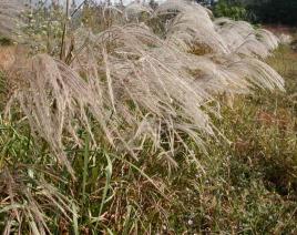 蘆葦哪里有-吉林蘆葦種植基地-吉林蘆葦價格