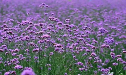 河南马鞭草花海什么时候开花
