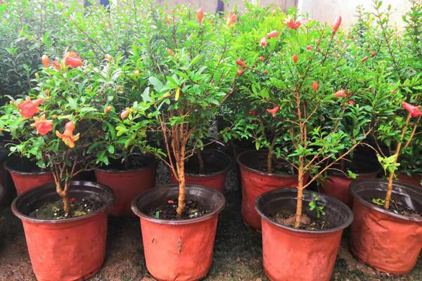 绿化石榴树