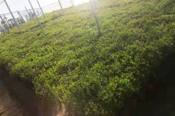 山西绿化石榴树苗木出售