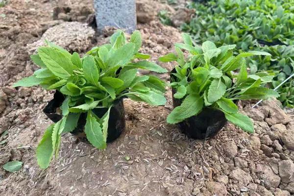 安徽天蓝鼠尾草种植基地