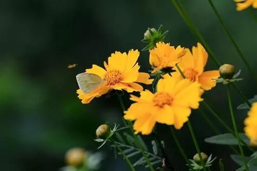金鸡菊小苗|金鸡菊