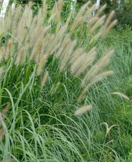 青州狼尾草-品质好的狼尾草哪里有