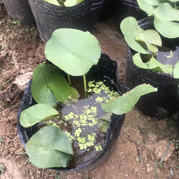 河南水培睡蓮種植時間,睡蓮杯苗培育基地