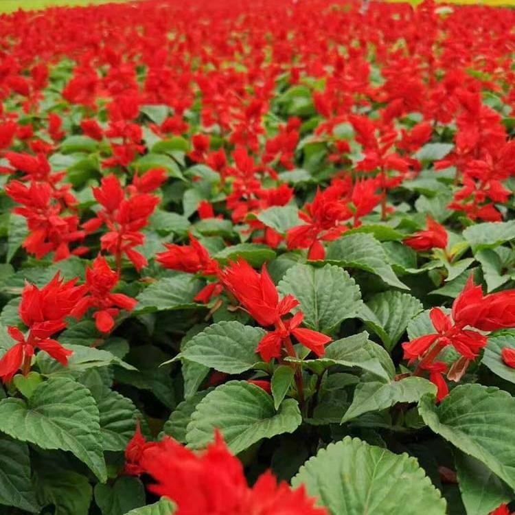 山東一串紅幼苗種植,鼠尾一串紅種植時間