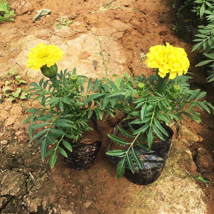 辽宁万寿菊种苗出售