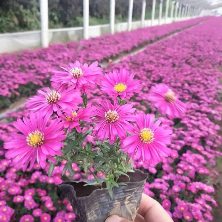 河南盆栽荷蘭菊出售