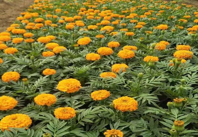 盆栽万寿菊的种植方法介绍