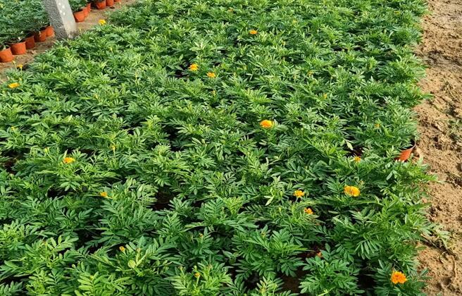 孔雀草的养殖方法