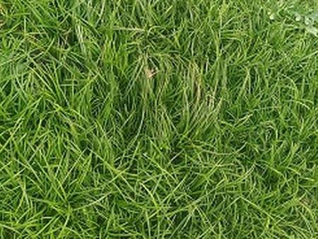麦冬小苗,麦冬小苗种植基地,麦冬小苗价格