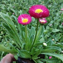 双色盆雏菊,双色盆雏菊基地,双色盆雏菊批发